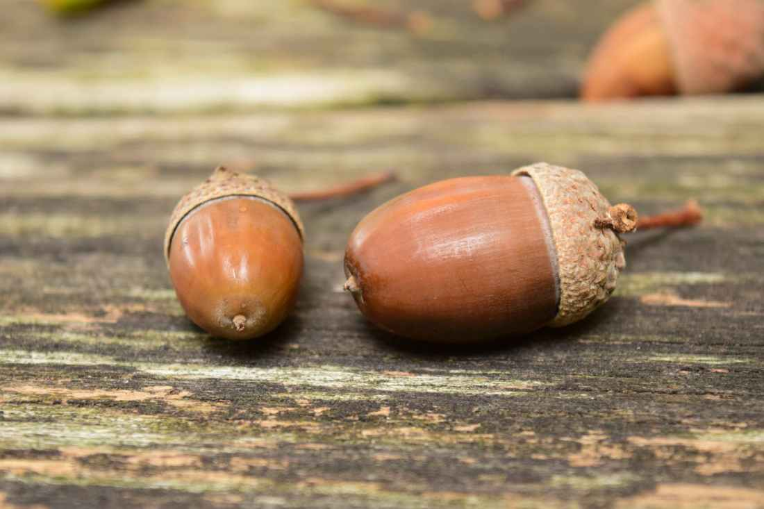 acorns autumn background beautiful